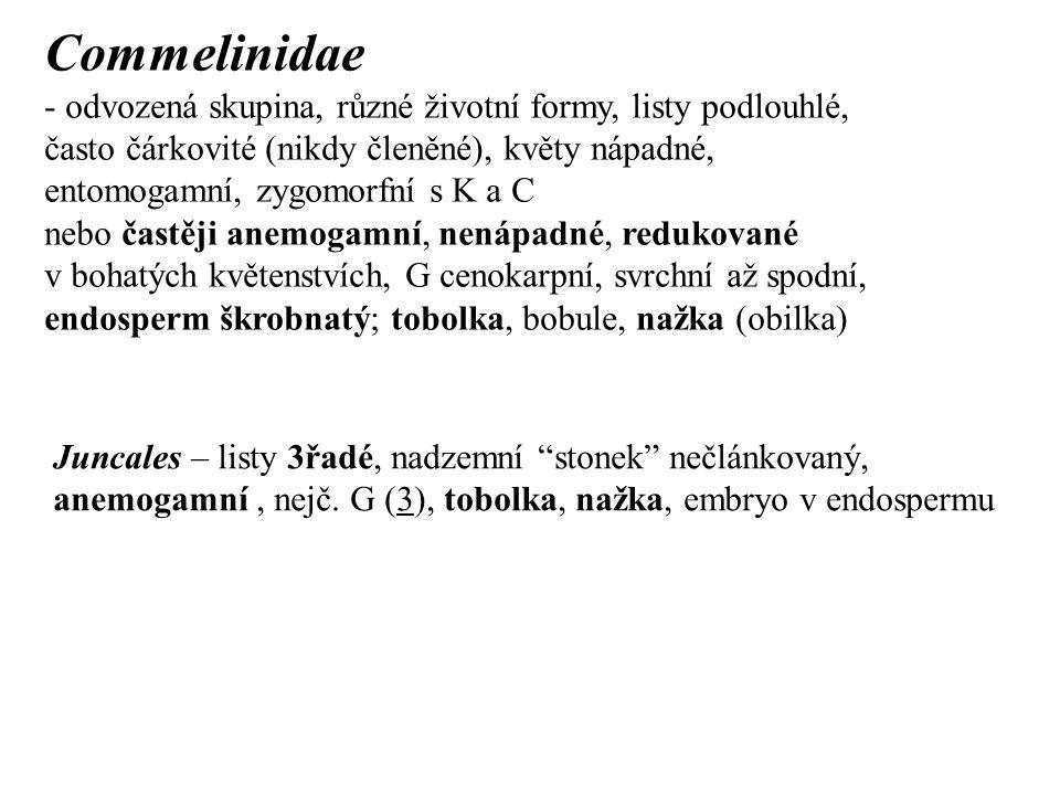 Commelinidae - odvozená skupina, různé životní formy, listy podlouhlé, často čárkovité (nikdy členěné), květy nápadné, entomogamní, zygomorfní s K a C nebo častěji anemogamní, nenápadné, redukované v bohatých květenstvích, G cenokarpní, svrchní až spodní, endosperm škrobnatý; tobolka, bobule, nažka (obilka) Juncales – listy 3řadé, nadzemní stonek nečlánkovaný, anemogamní, nejč.