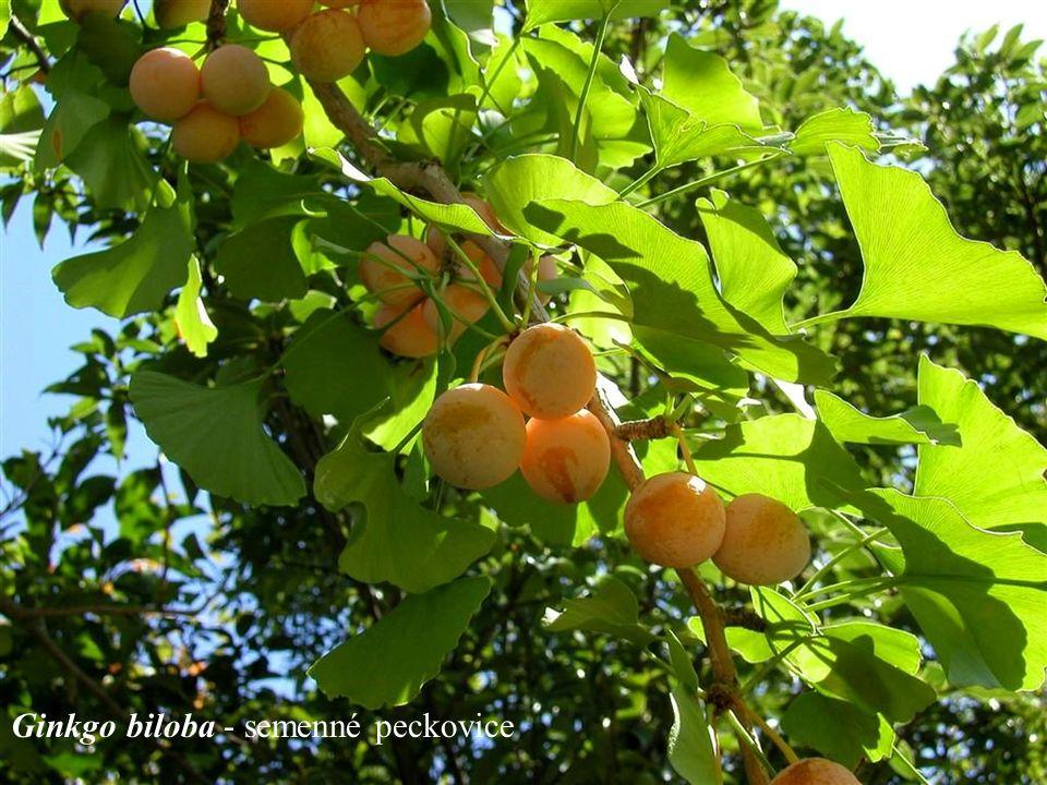 Ginkgo biloba - semenné peckovice