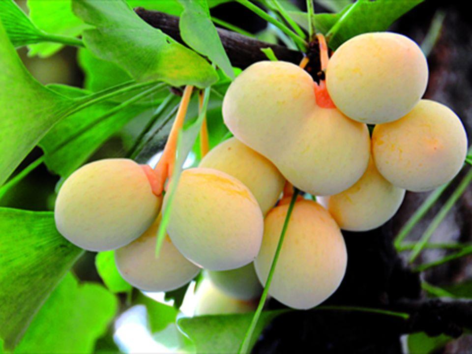 Prunoideae – slivoňové *K5 C5 A  G1, peckovice Prunus domestica P. spinosa