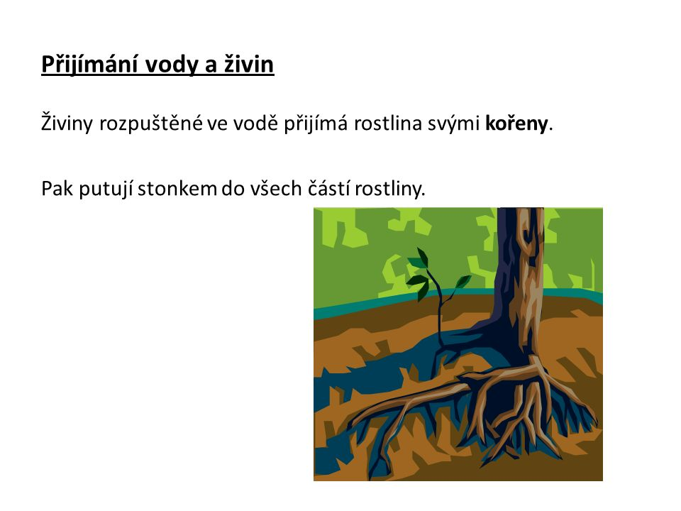 Přijímání vody a živin Živiny rozpuštěné ve vodě přijímá rostlina svými kořeny. Pak putují stonkem do všech částí rostliny.
