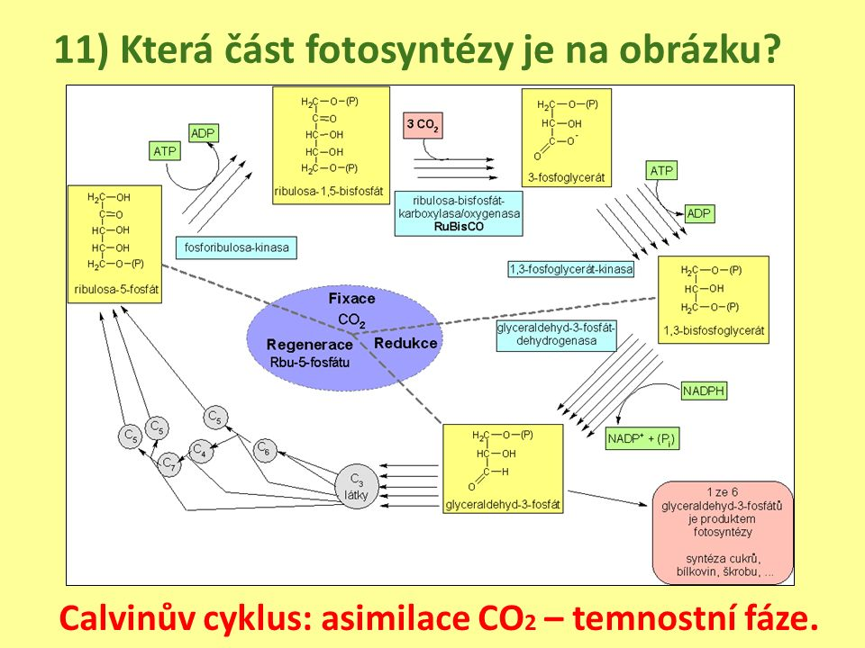 11) Která část fotosyntézy je na obrázku Calvinův cyklus: asimilace CO 2 – temnostní fáze.