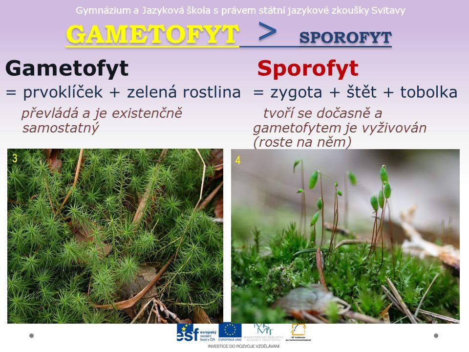 GAMETOFYT > SPOROFYT GAMETOFYT > SPOROFYT Gametofyt = prvoklíček + zelená rostlina převládá a je existenčně samostatný Sporofyt = zygota + štět + tobolka tvoří se dočasně a gametofytem je vyživován (roste na něm) 3 4
