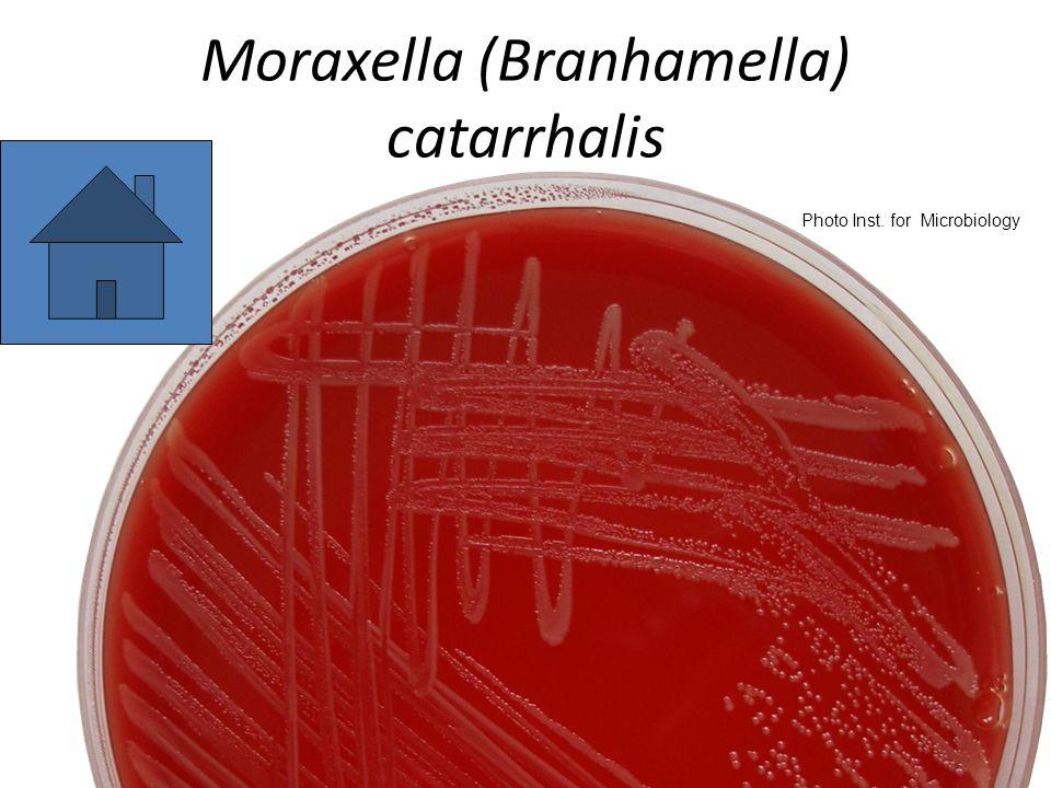 Moraxella (Branhamella) catarrhalis Photo Inst. for Microbiology
