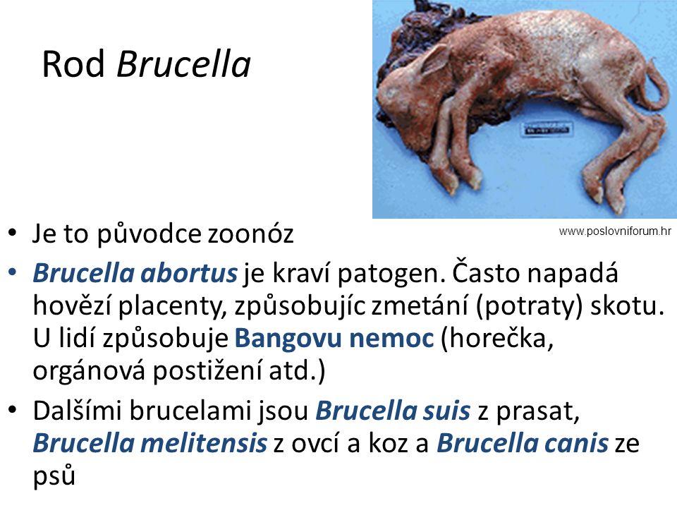 Rod Brucella Je to původce zoonóz Brucella abortus je kraví patogen.