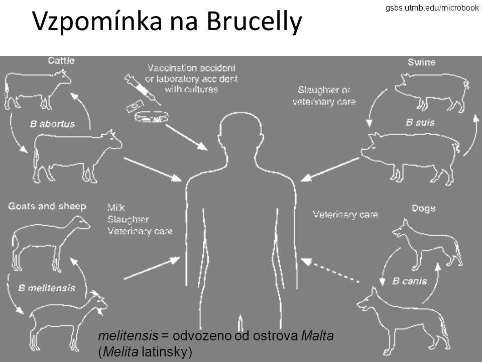 Vzpomínka na Brucelly gsbs.utmb.edu/microbook melitensis = odvozeno od ostrova Malta (Melita latinsky)