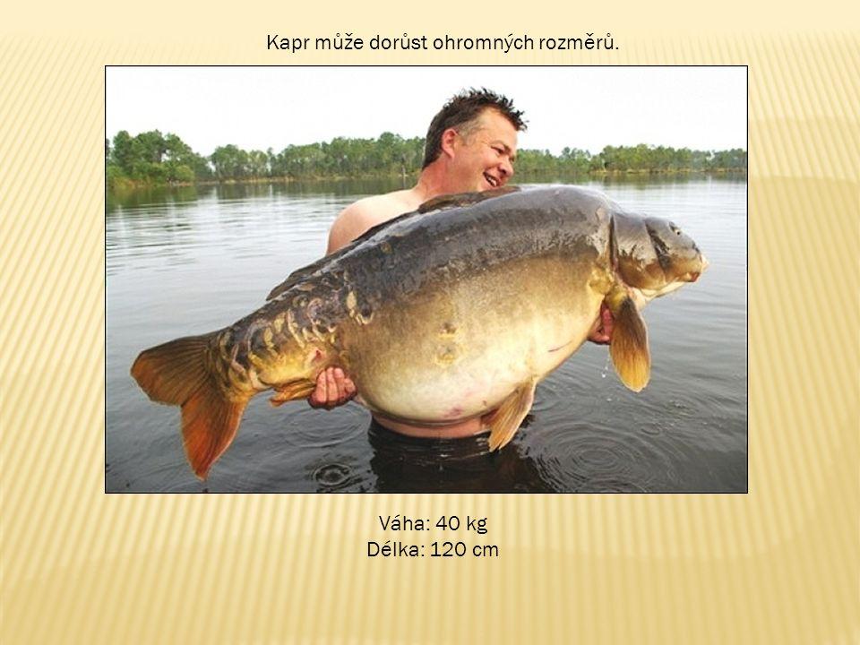 Kapr může dorůst ohromných rozměrů. Váha: 40 kg Délka: 120 cm