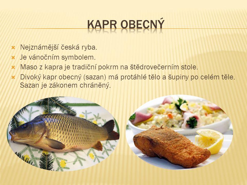  Nejznámější česká ryba.  Je vánočním symbolem.