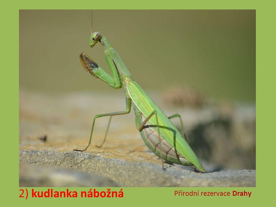 2) kudlanka nábožná Přírodní rezervace Drahy