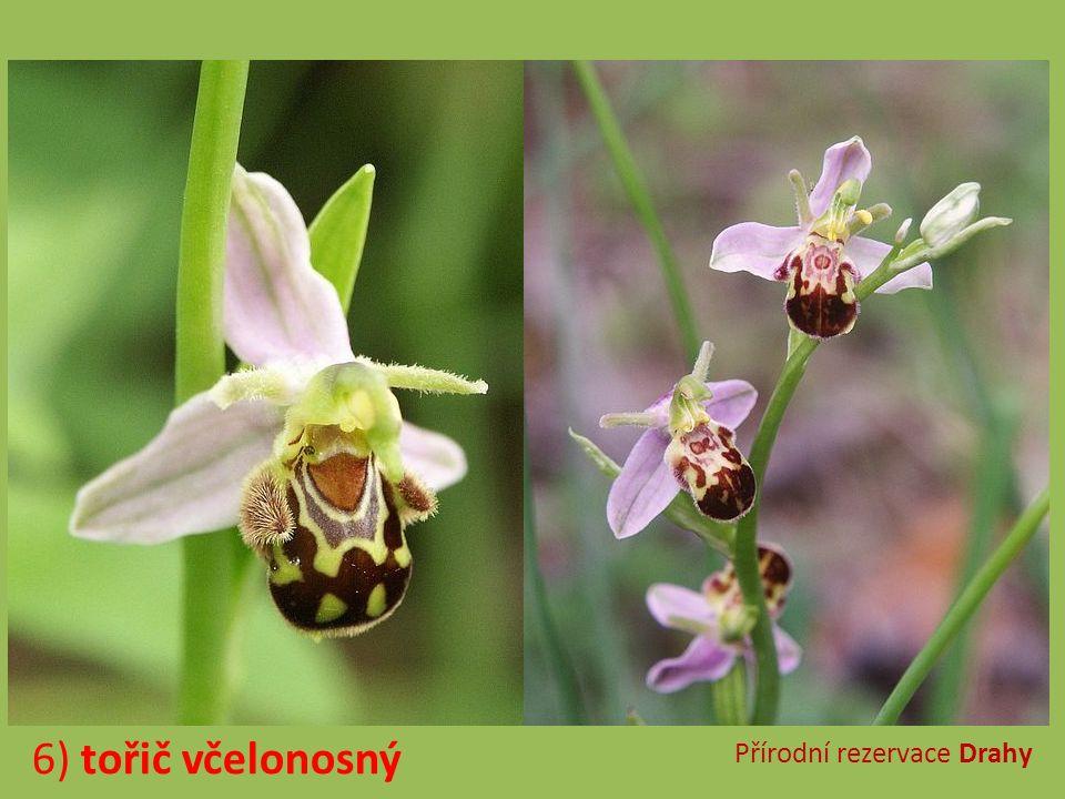 Přírodní rezervace Moravanské lúky 7) vstavač májový
