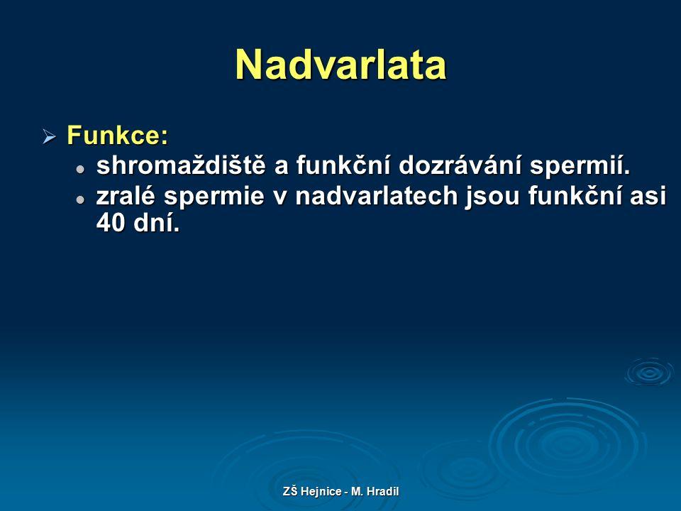 ZŠ Hejnice - M. Hradil Nadvarlata  Funkce: shromaždiště a funkční dozrávání spermií.