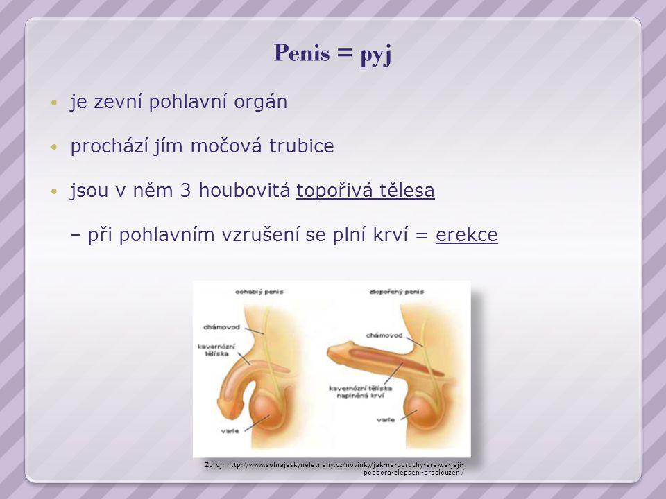 Penis = pyj je zevní pohlavní orgán prochází jím močová trubice jsou v něm 3 houbovitá topořivá tělesa – při pohlavním vzrušení se plní krví = erekce Zdroj: http://www.solnajeskyneletnany.cz/novinky/jak-na-poruchy-erekce-jeji- podpora-zlepseni-prodlouzeni/
