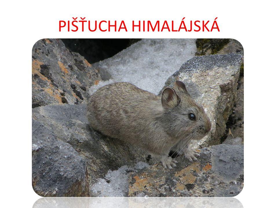 PIŠŤUCHA HIMALÁJSKÁ