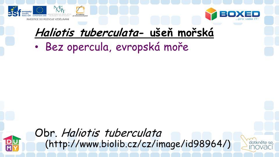 Haliotis tuberculata- ušeň mořská Bez opercula, evropská moře Obr. Haliotis tuberculata (http://www.biolib.cz/cz/image/id98964/)