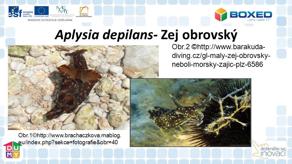Aplysia depilans- Zej obrovský Obr.1©http://www.brachaczkova.mablog. eu/index.php?sekce=fotografie&obr=40 Obr.2 ©http://www.barakuda- diving.cz/gl-mal