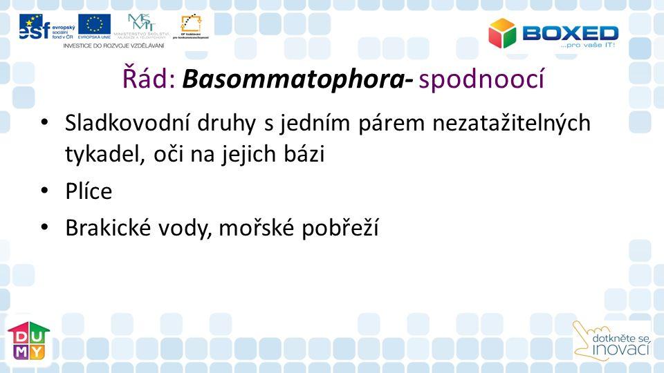 Řád: Basommatophora- spodnoocí Sladkovodní druhy s jedním párem nezatažitelných tykadel, oči na jejich bázi Plíce Brakické vody, mořské pobřeží