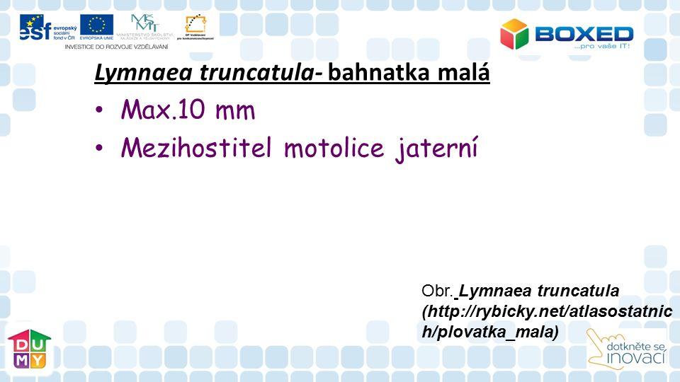 Lymnaea truncatula- bahnatka malá Max.10 mm Mezihostitel motolice jaterní Obr.