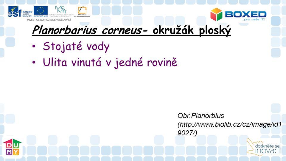 Planorbarius corneus- okružák ploský Stojaté vody Ulita vinutá v jedné rovině Obr.Planorbius (http://www.biolib.cz/cz/image/id1 9027/)