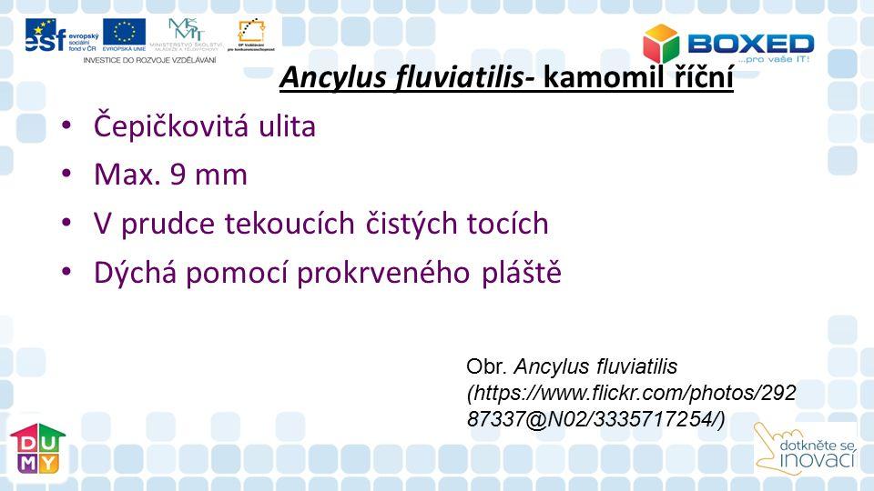 Ancylus fluviatilis- kamomil říční Čepičkovitá ulita Max.