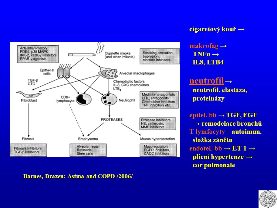 Barnes, Drazen: Astma and COPD /2006/ cigaretový kouř → makrofág → TNFα → IL8, LTB4 neutrofil → neutrofil. elastáza, proteinázy epitel. bb → TGF, EGF
