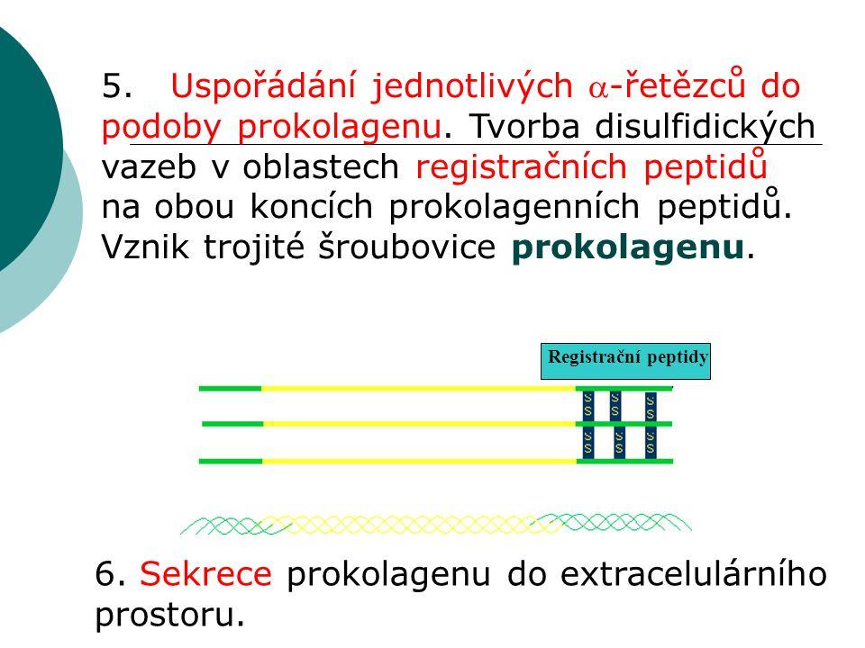 5. Uspořádání jednotlivých -řetězců do podoby prokolagenu.