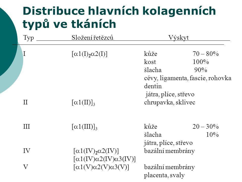 Distribuce hlavních kolagenních typů ve tkáních TypSložení řetězcůVýskyt I[    kůže70 – 80% kost 100% šlacha 90% cévy, ligamenta, fascie, rohovka dentin játra, plíce, střevo II[  II)] 3 chrupavka, sklivec III[  III)] 3 kůže20 – 30% šlacha 10% játra, plíce, střevo IV [  V    V  bazální membrány [  V  V  (IV)  V [  V  V  (V)  bazální membrány placenta, svaly