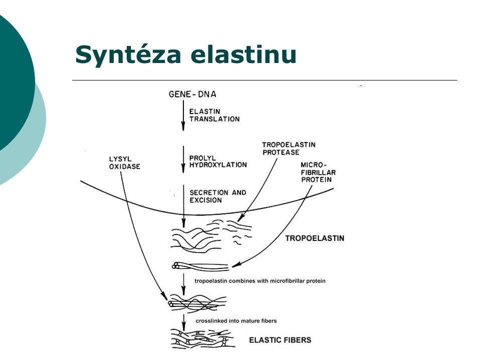 Syntéza elastinu