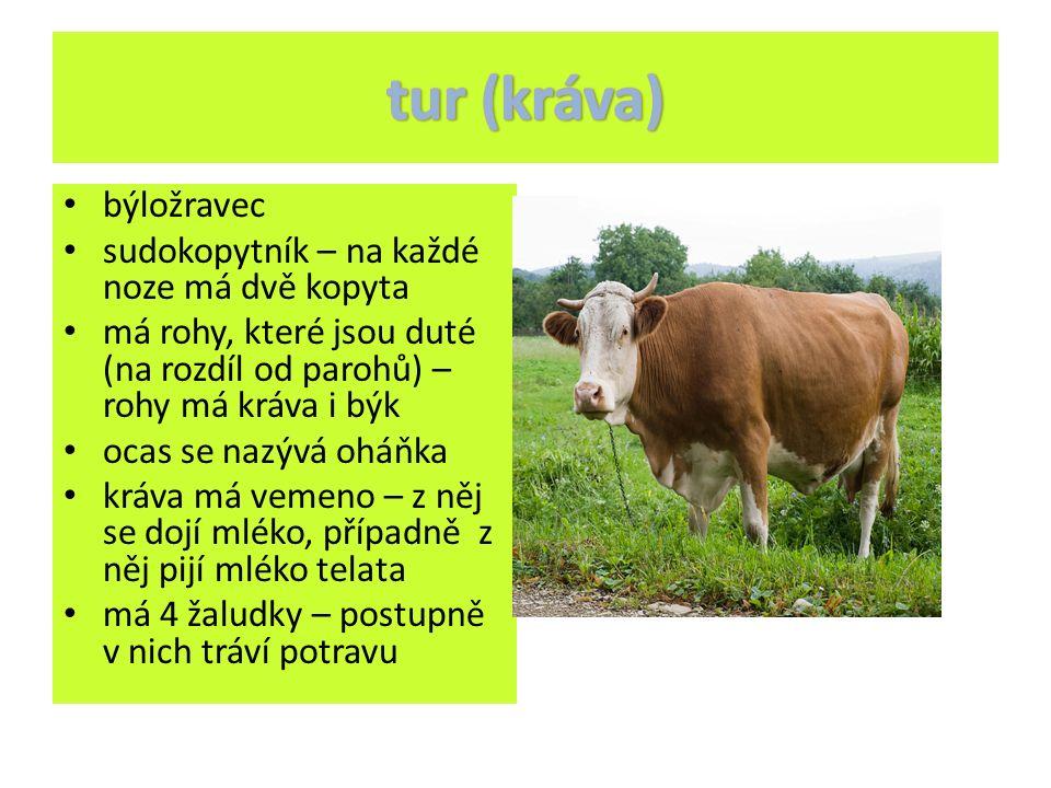 býložravec sudokopytník – na každé noze má dvě kopyta má rohy, které jsou duté (na rozdíl od parohů) – rohy má kráva i býk ocas se nazývá oháňka kráva má vemeno – z něj se dojí mléko, případně z něj pijí mléko telata má 4 žaludky – postupně v nich tráví potravu