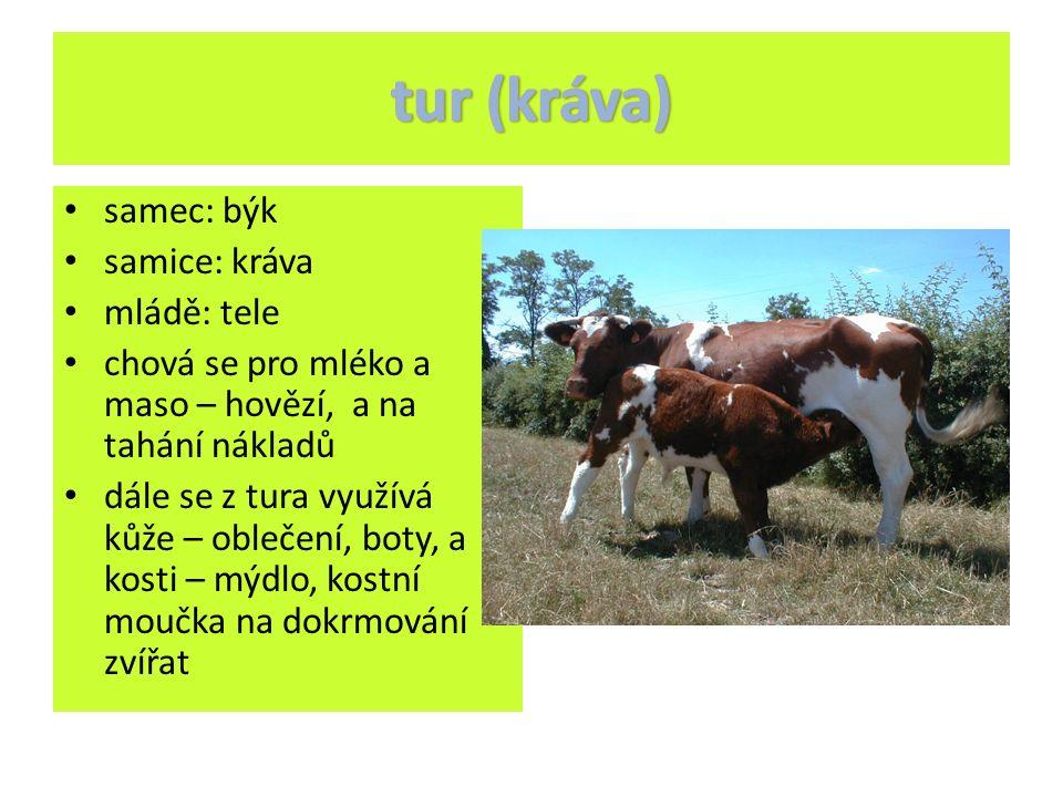 samec: býk samice: kráva mládě: tele chová se pro mléko a maso – hovězí, a na tahání nákladů dále se z tura využívá kůže – oblečení, boty, a kosti – mýdlo, kostní moučka na dokrmování zvířat