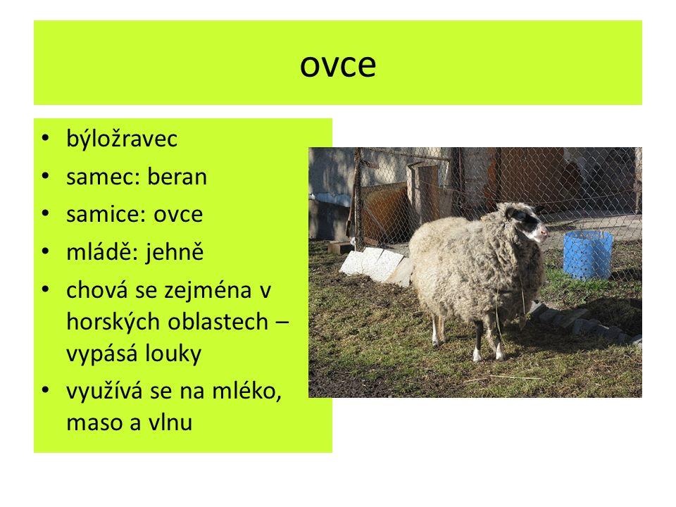 ovce býložravec samec: beran samice: ovce mládě: jehně chová se zejména v horských oblastech – vypásá louky využívá se na mléko, maso a vlnu