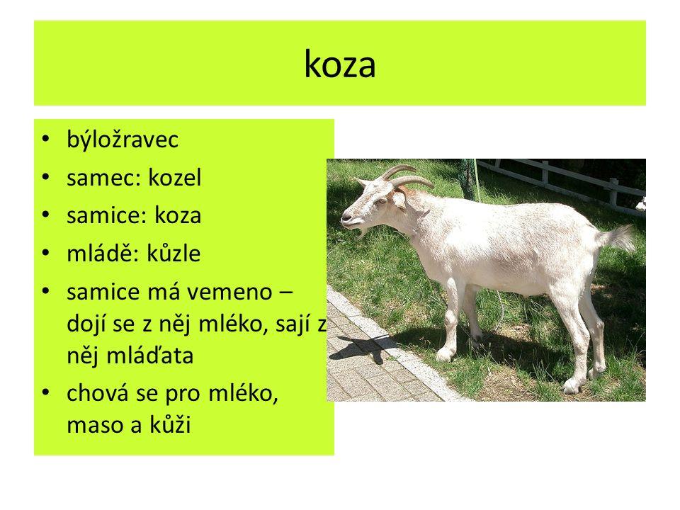 koza býložravec samec: kozel samice: koza mládě: kůzle samice má vemeno – dojí se z něj mléko, sají z něj mláďata chová se pro mléko, maso a kůži