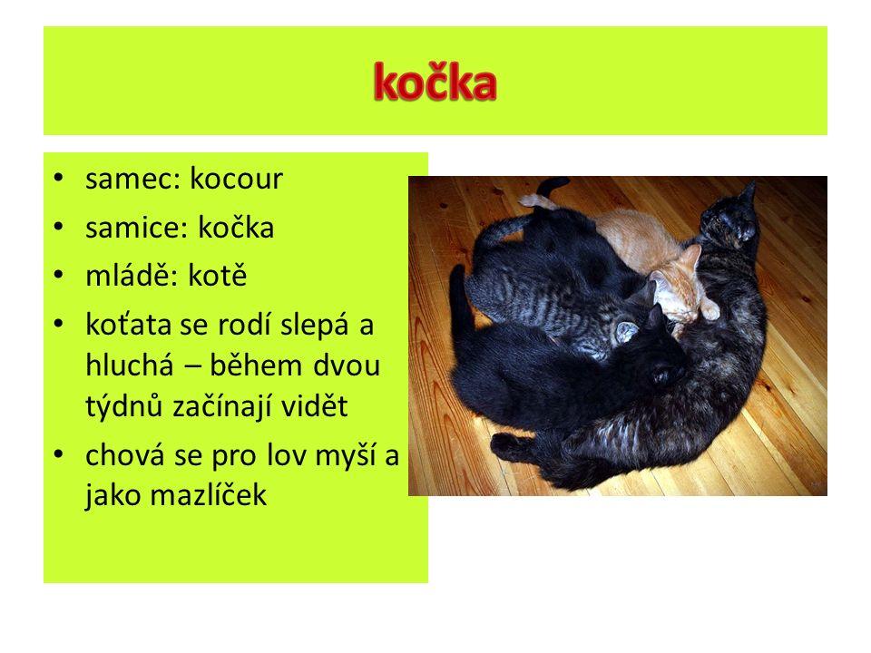 samec: kocour samice: kočka mládě: kotě koťata se rodí slepá a hluchá – během dvou týdnů začínají vidět chová se pro lov myší a jako mazlíček