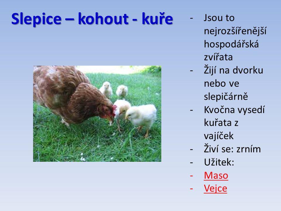 Slepice – kohout - kuře -Jsou to nejrozšířenější hospodářská zvířata -Žijí na dvorku nebo ve slepičárně -Kvočna vysedí kuřata z vajíček -Živí se: zrním -Užitek: -Maso -Vejce