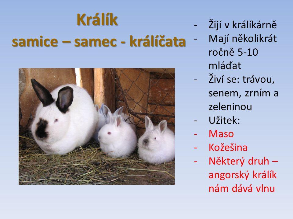 Králík samice – samec - králíčata samice – samec - králíčata -Žijí v králíkárně -Mají několikrát ročně 5-10 mláďat -Živí se: trávou, senem, zrním a zeleninou -Užitek: -Maso -Kožešina -Některý druh – angorský králík nám dává vlnu
