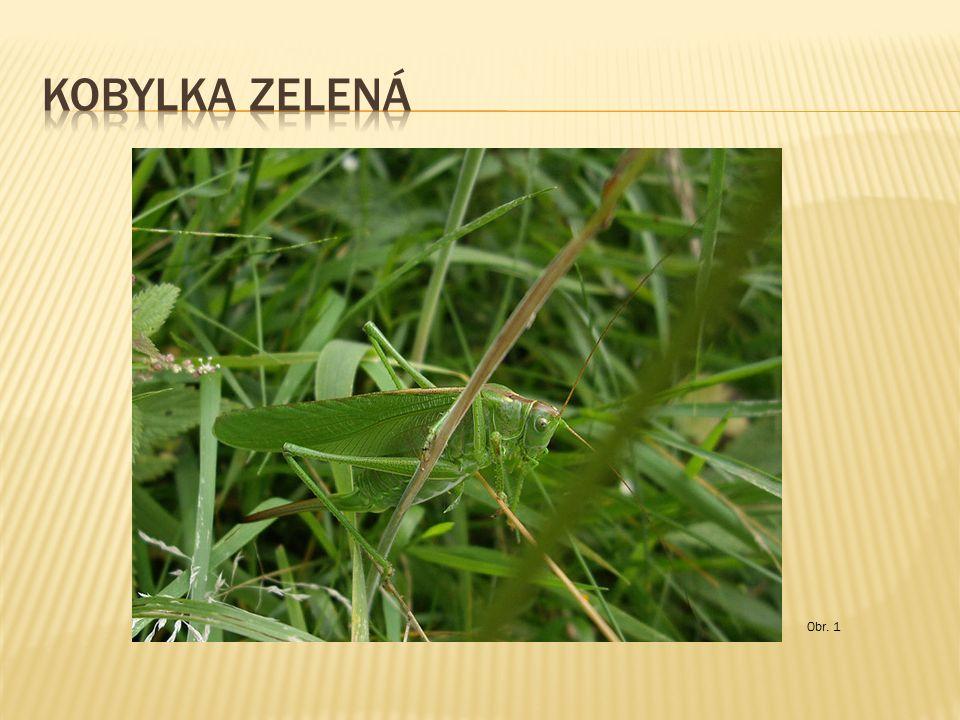  mají krátká tykadla  kladélko u samiček je nenápadné  býložravci  některé druhy (Afrika, Asie) – velké škody na úrodě (hladomor) – saranče pustinné