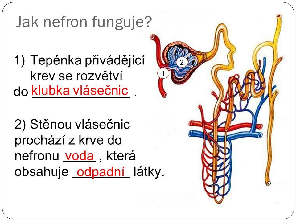 Jak nefron funguje? 1)Tepénka přivádějící krev se rozvětví do. klubka vlásečnic 1 2) Stěnou vlásečnic prochází z krve do nefronu, která obsahuje látky