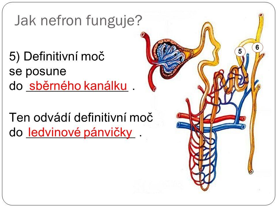 Jak nefron funguje? 5) Definitivní moč se posune do. sběrného kanálku 5 Ten odvádí definitivní moč do. ledvinové pánvičky 6