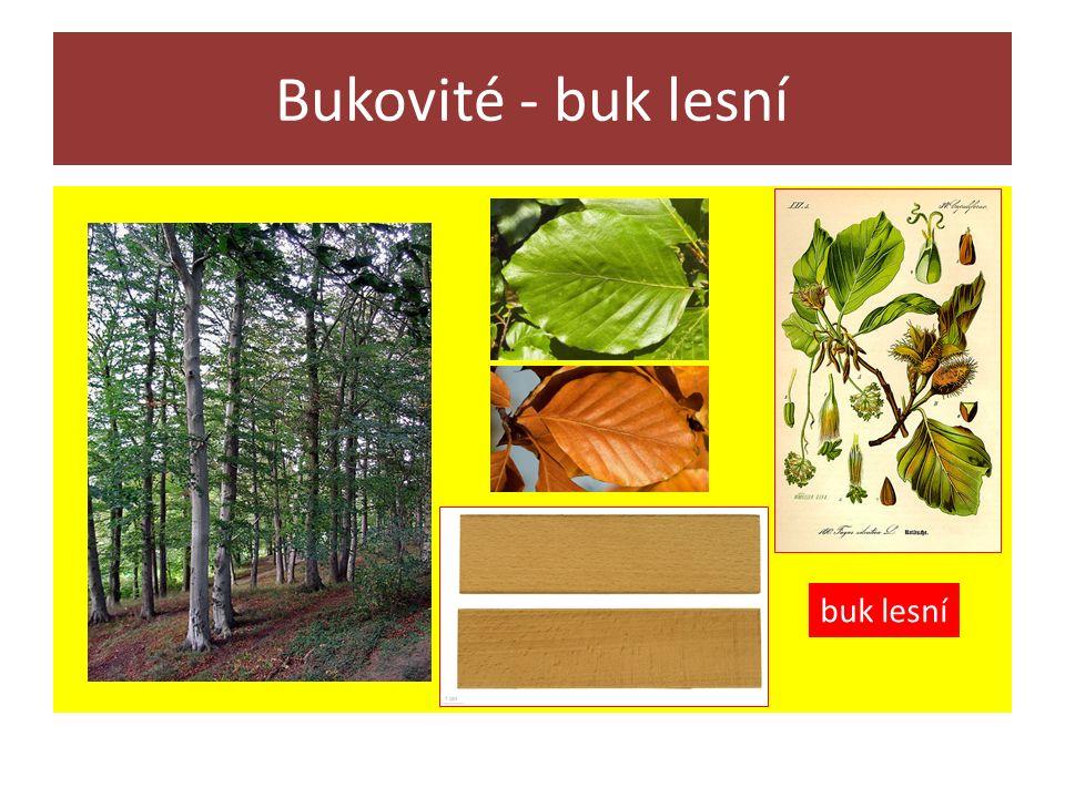 Bukovité - buk lesní buk lesní