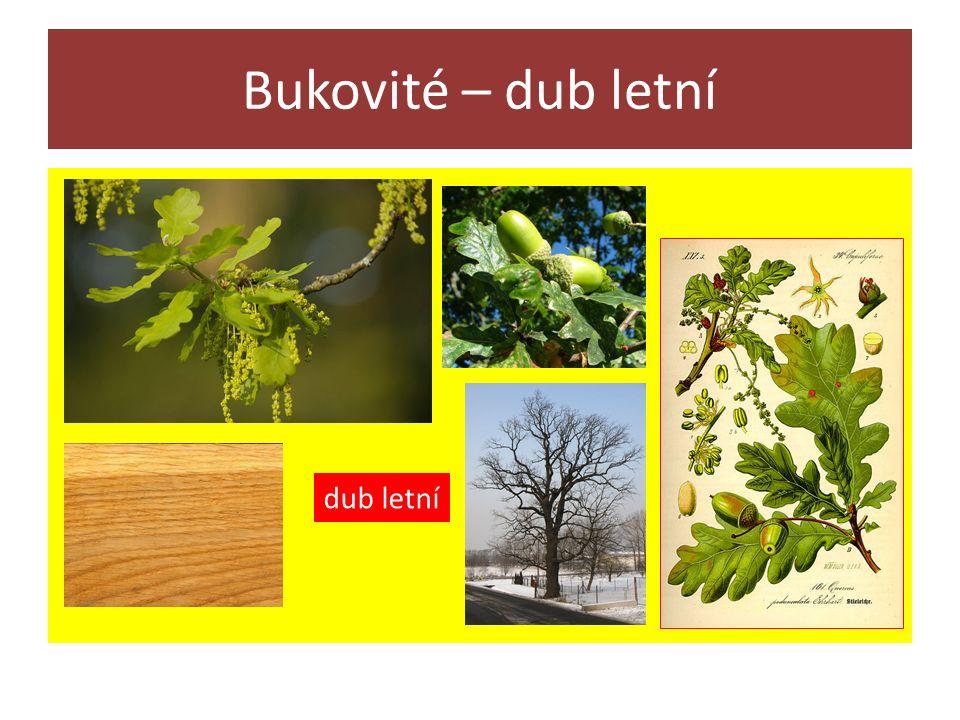 Bukovité – dub letní dub letní