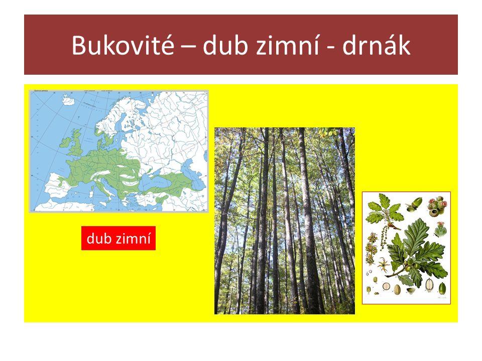Bukovité – dub zimní - drnák dub zimní
