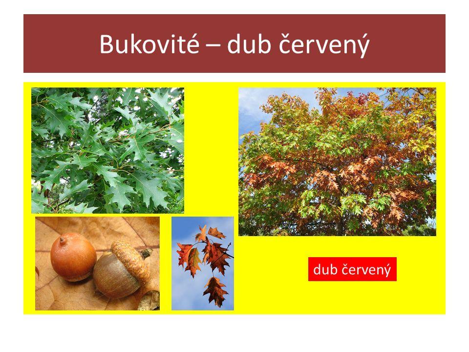 Bukovité – dub červený dub červený