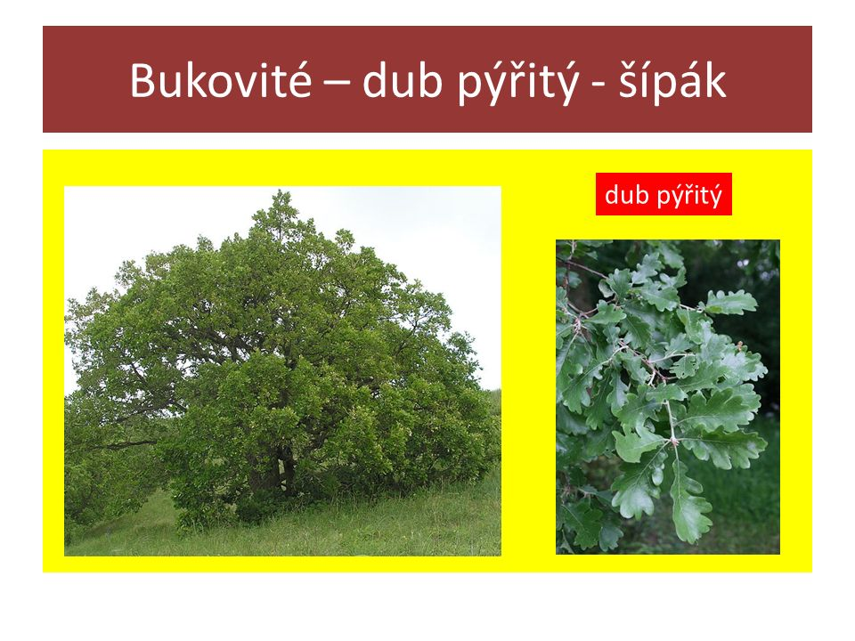 Bukovité – dub pýřitý - šípák dub pýřitý