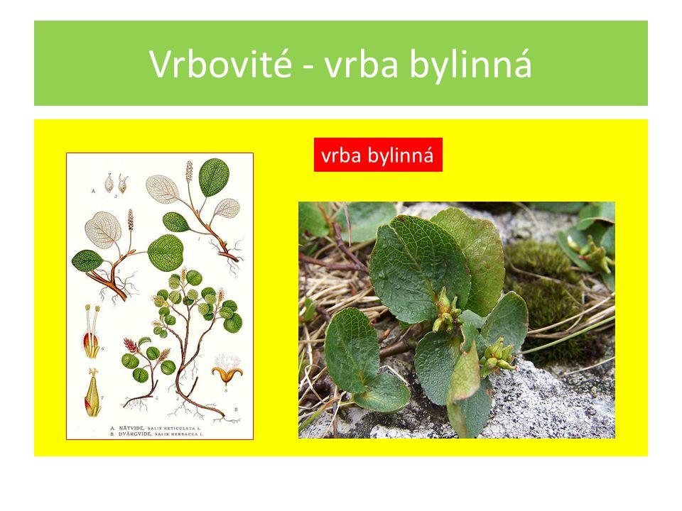 Vrbovité - vrba bylinná vrba bylinná