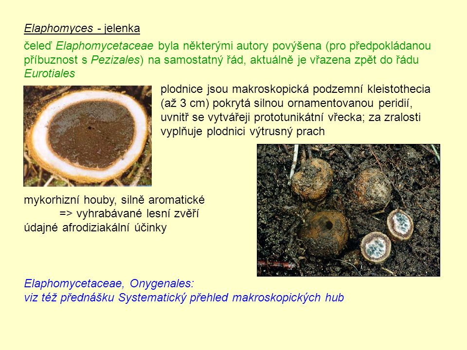Elaphomyces - jelenka čeleď Elaphomycetaceae byla některými autory povýšena (pro předpokládanou příbuznost s Pezizales) na samostatný řád, aktuálně je vřazena zpět do řádu Eurotiales mykorhizní houby, silně aromatické => vyhrabávané lesní zvěří údajné afrodiziakální účinky Elaphomycetaceae, Onygenales: viz též přednášku Systematický přehled makroskopických hub plodnice jsou makroskopická podzemní kleistothecia (až 3 cm) pokrytá silnou ornamentovanou peridií, uvnitř se vytvářeji prototunikátní vřecka; za zralosti vyplňuje plodnici výtrusný prach
