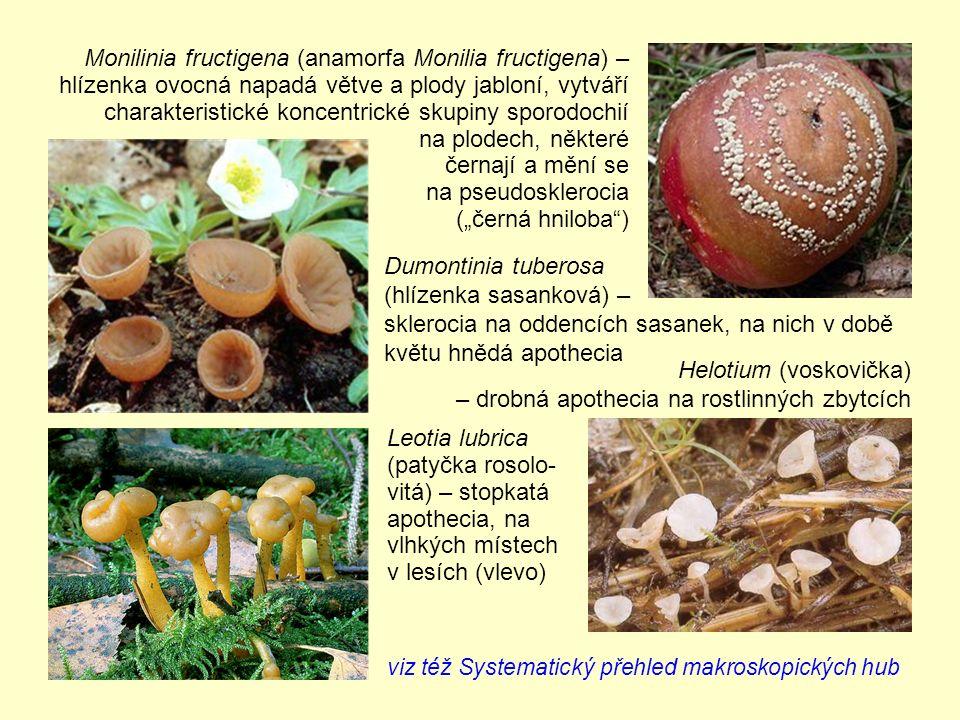 """Monilinia fructigena (anamorfa Monilia fructigena) – hlízenka ovocná napadá větve a plody jabloní, vytváří charakteristické koncentrické skupiny sporodochií na plodech, některé černají a mění se na pseudosklerocia (""""černá hniloba ) Leotia lubrica (patyčka rosolo- vitá) – stopkatá apothecia, na vlhkých místech v lesích (vlevo) Dumontinia tuberosa (hlízenka sasanková) – sklerocia na oddencích sasanek, na nich v době květu hnědá apothecia Helotium (voskovička) – drobná apothecia na rostlinných zbytcích viz též Systematický přehled makroskopických hub"""