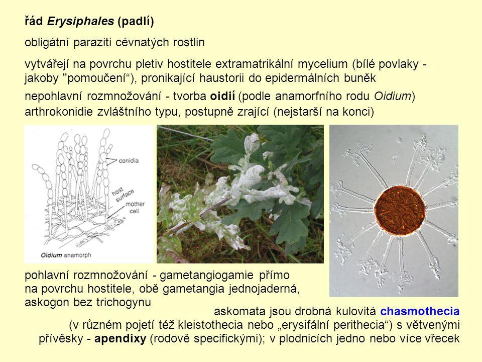 """řád Erysiphales (padlí) obligátní paraziti cévnatých rostlin vytvářejí na povrchu pletiv hostitele extramatrikální mycelium (bílé povlaky - jakoby pomoučení ), pronikající haustorii do epidermálních buněk nepohlavní rozmnožování - tvorba oidií (podle anamorfního rodu Oidium) arthrokonidie zvláštního typu, postupně zrající (nejstarší na konci) askomata jsou drobná kulovitá chasmothecia (v různém pojetí též kleistothecia nebo """"erysifální perithecia ) s větvenými přívěsky - apendixy (rodově specifickými); v plodnicích jedno nebo více vřecek pohlavní rozmnožování - gametangiogamie přímo na povrchu hostitele, obě gametangia jednojaderná, askogon bez trichogynu"""