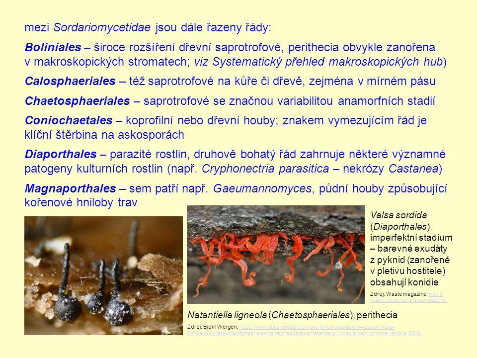 mezi Sordariomycetidae jsou dále řazeny řády: Boliniales – široce rozšíření dřevní saprotrofové, perithecia obvykle zanořena v makroskopických stromatech; viz Systematický přehled makroskopických hub) Calosphaeriales – též saprotrofové na kůře či dřevě, zejména v mírném pásu Chaetosphaeriales – saprotrofové se značnou variabilitou anamorfních stadií Coniochaetales – koprofilní nebo dřevní houby; znakem vymezujícím řád je klíční štěrbina na askosporách Diaporthales – parazité rostlin, druhově bohatý řád zahrnuje některé významné patogeny kulturních rostlin (např.