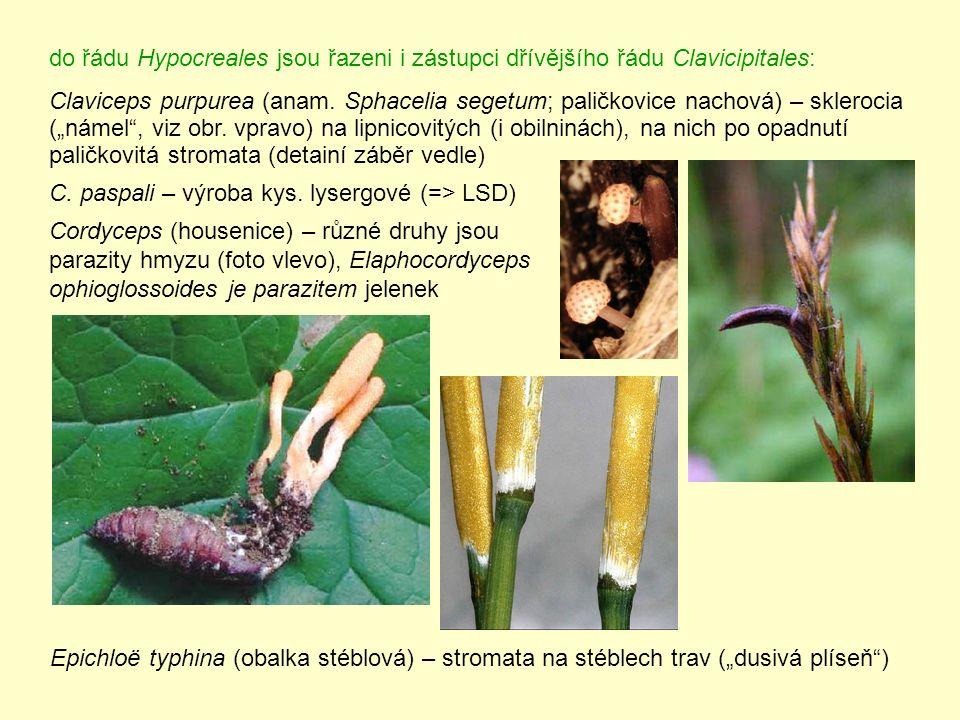 do řádu Hypocreales jsou řazeni i zástupci dřívějšího řádu Clavicipitales: Claviceps purpurea (anam.