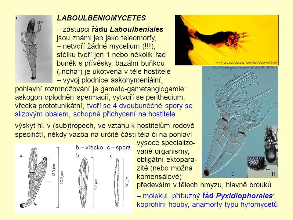pohlavní rozmnožování je gameto-gametangiogamie: askogon oplodněn spermacií, vytvoří se perithecium, vřecka prototunikátní, tvoří se 4 dvoubuněčné spory se slizovým obalem, schopné přichycení na hostitele výskyt hl.