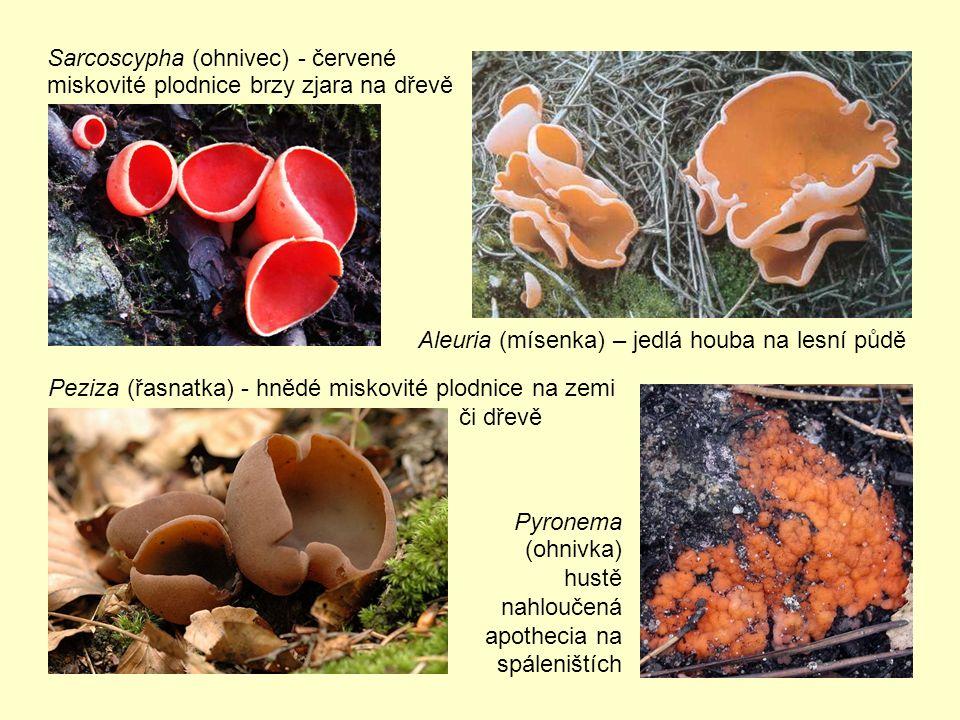 Sarcoscypha (ohnivec) - červené miskovité plodnice brzy zjara na dřevě Pyronema (ohnivka) hustě nahloučená apothecia na spáleništích Peziza (řasnatka) - hnědé miskovité plodnice na zemi či dřevě Aleuria (mísenka) – jedlá houba na lesní půdě