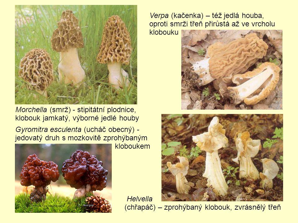 Morchella (smrž) - stipitátní plodnice, klobouk jamkatý, výborné jedlé houby Gyromitra esculenta (ucháč obecný) - jedovatý druh s mozkovitě zprohýbaným kloboukem Verpa (kačenka) – též jedlá houba, oproti smrži třeň přirůstá až ve vrcholu klobouku Helvella (chřapáč) – zprohýbaný klobouk, zvrásnělý třeň